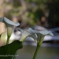 Silent Sunday: Calla Lillies