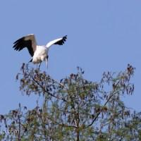 Wood Stork, New Territory