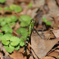 Eastern Pondhawk Dragonfly on Ground