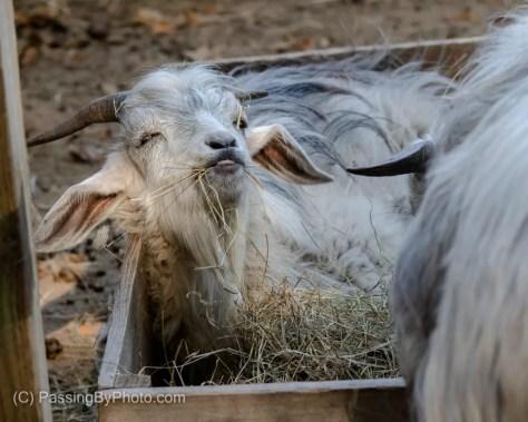 Cashmere Goat, Feeding