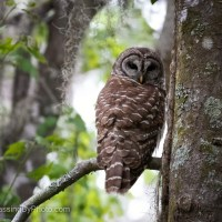 Barred Owl, Looking At Me