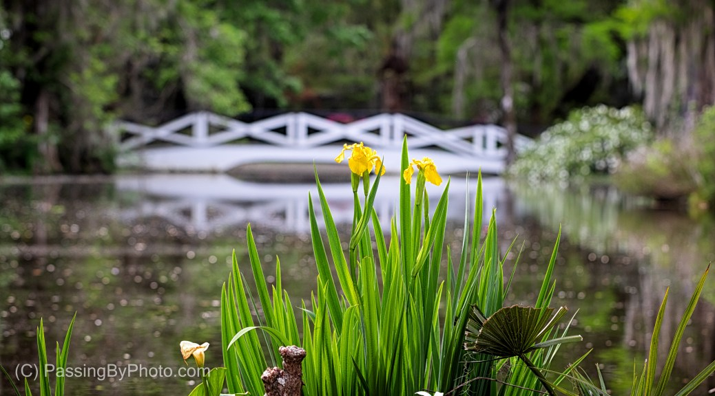 Yellow Iris, White Bridge in Background