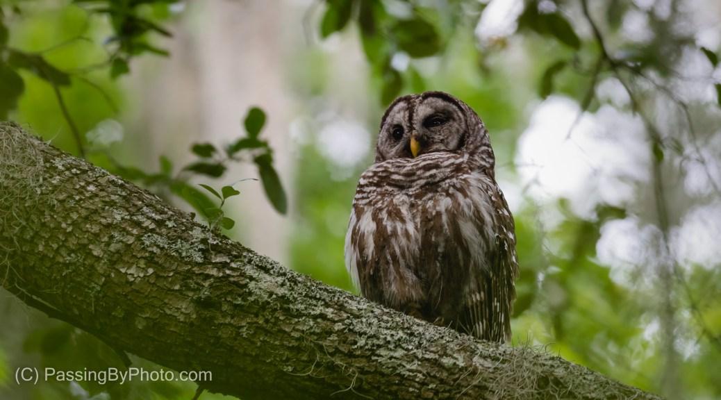 Barred Owl Adult