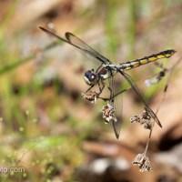 Dragonfly, Yellowish Abdomen, 2