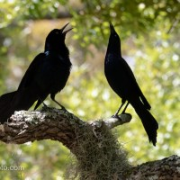 Boat-tailed Grackle Pair, Singing