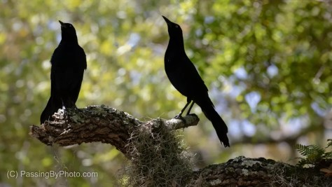 Boat-tailed Grackle Pair