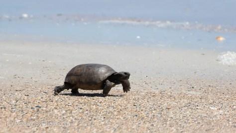 Gopher Tortoise on Beach