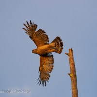 Red-shouldered Hawk, Early Morning