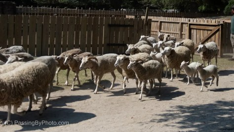 Flock of Sheep Coming Out of Pen