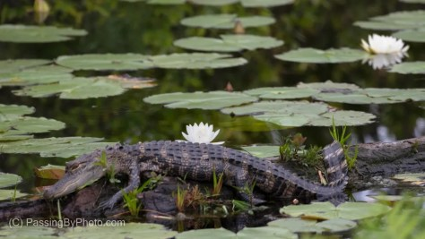 Alligator and Water Lilies