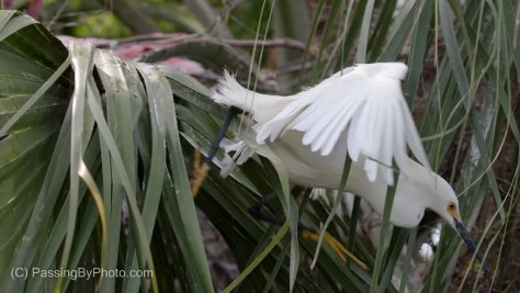 Snowy Egret standing in front of Roseate Spoonbill Nest