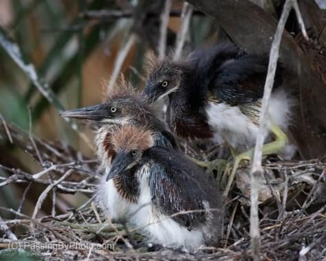 Three Tricolored Heron Chicks
