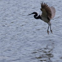 Tricolored Heron Fishing on the Fly