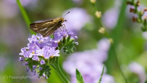 Skipper on Purple Wildflowers
