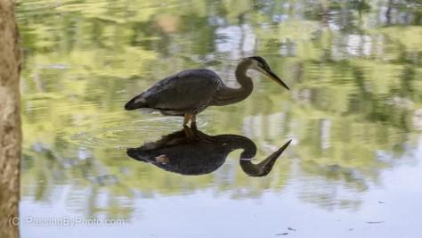 Great Blue Heron Practice Stalking