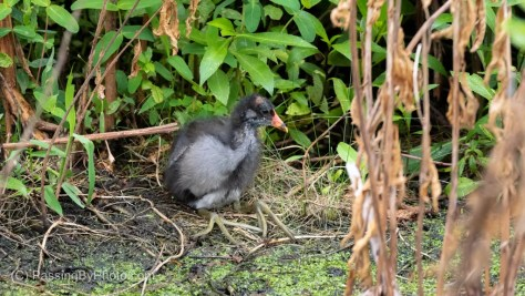 Common Gallinule Chick