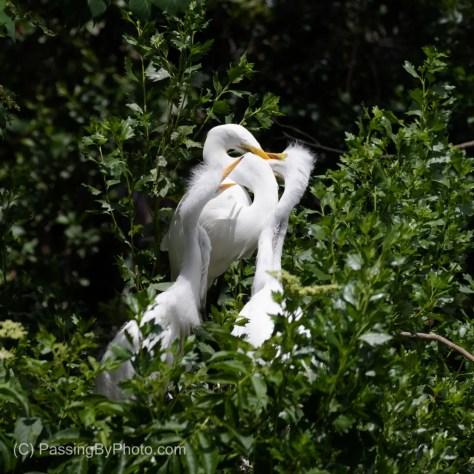 Great Egret and Two Chicks