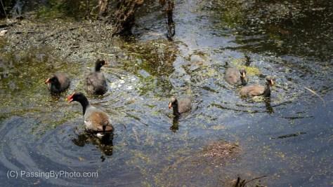 Common Gallinule Family