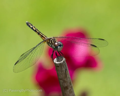 Juvenile Blue Dasher Dragonfly