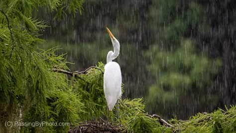 Juvenile Great Egret in Rain