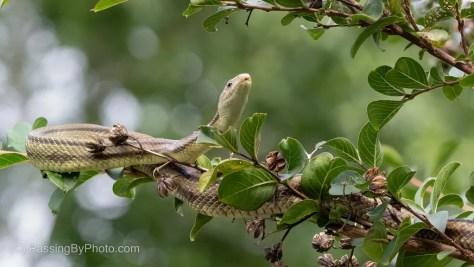Ribbon Snake in Crepe Myrtle