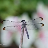 Great Blue Skimmer, Modeling On Green, Pink and Mixed