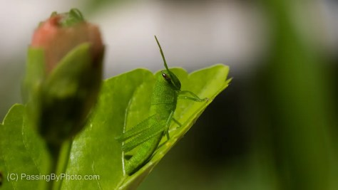 Green Grasshopper and Hibiscus Blossom