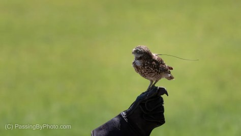 Burrowing Owl, On Handler's Glove