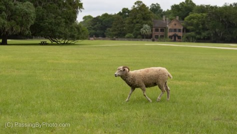 Lone Sheep Crossing The Lawn