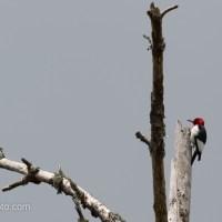 Red-headed Woodpecker In a Snag