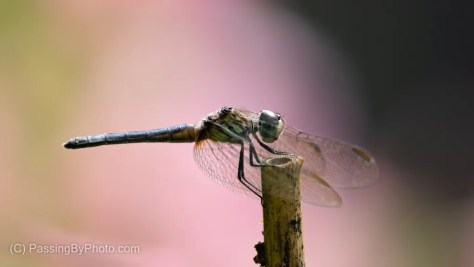 Dragonfly Pink Background