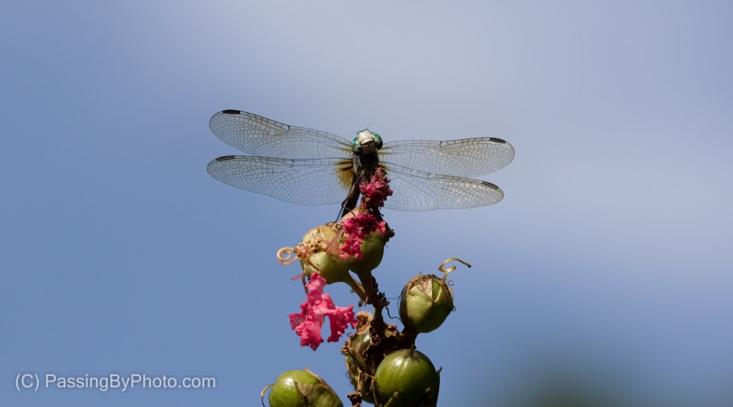 Blue Dasher on Waning Crepe Myrtle Blossom