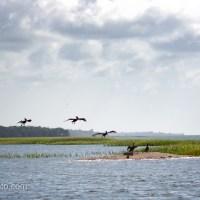 Brown Pelicans Off Duty