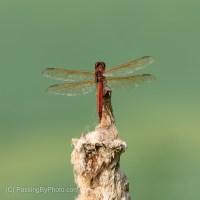 Orange Dragonfly On Cattail