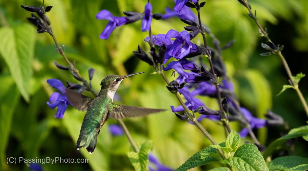 Ruby-throated Hummingbird on Purple Flower