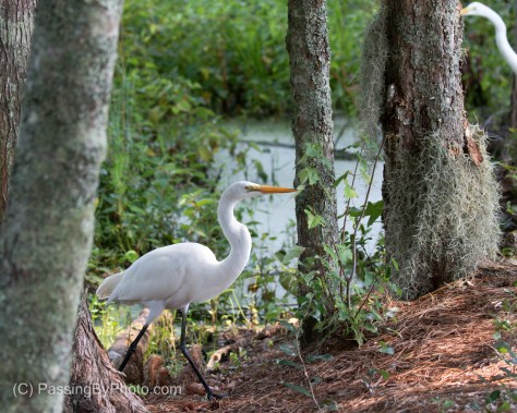 Great Egret Walking