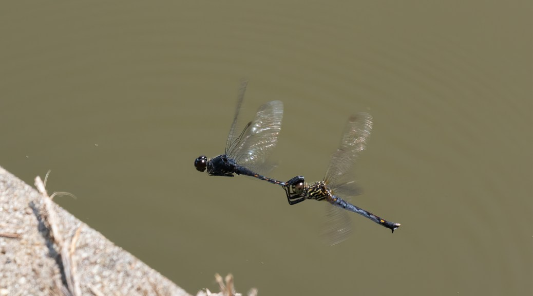 Joined Pair of Seaside Dragonlets