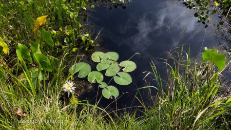 Lily Pads in Swamp