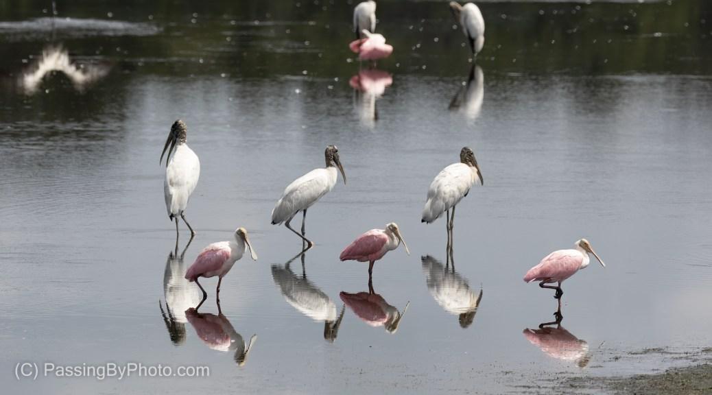 Wood Storks and Roseate Spoonbills