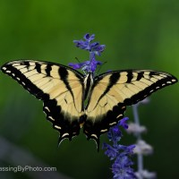 Yellow Swallowtail Butterfly on Salvia