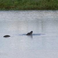 Alligator Getting Attention