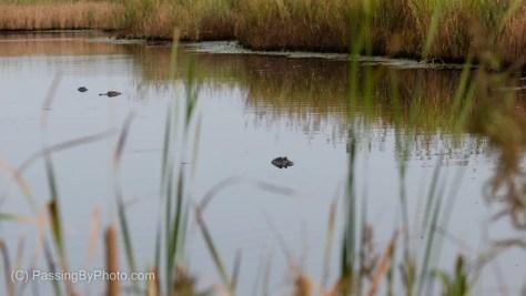 Alligators in Canal