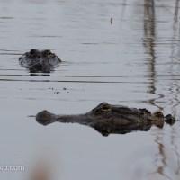 Alligators Passing