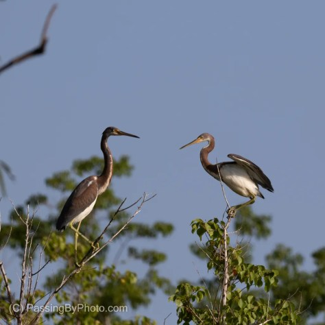 Tricolored Heron Pair