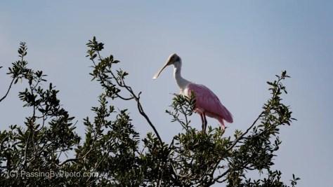 Roseate Spoonbill at Tree Top