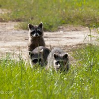Raccoons Out For A Walk