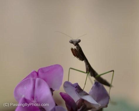 Praying Mantis on Hyacinth Bean Flower