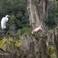 Roseate Spoonbill and Great Egret, New View