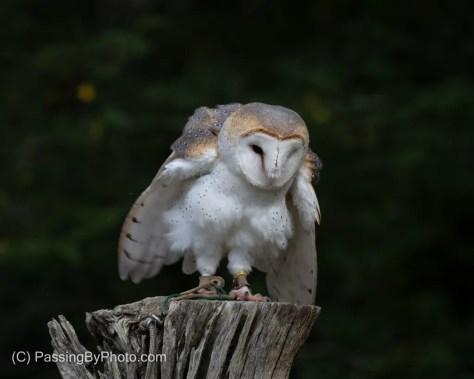 Barn Owl Shaking It Off