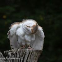 Barn Owl Giving A Shake